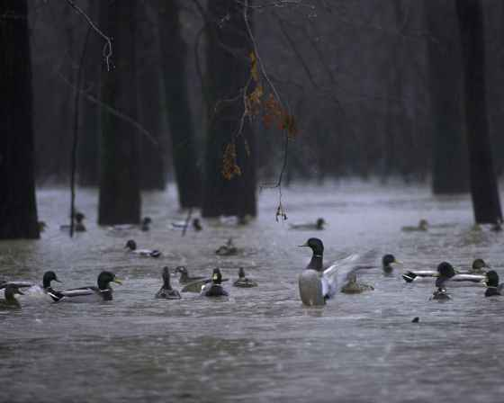wild-ducks-swim-in-the-water-in-the-rain